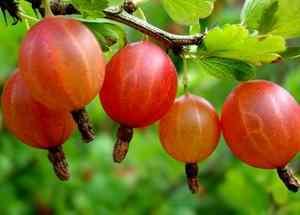 Крыжовник ягоды